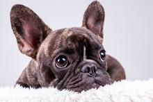 French Bulldog Lying With Sad Face