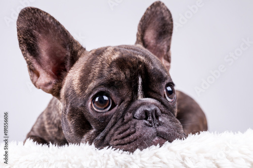 Fototapeta French bulldog lying with sad face