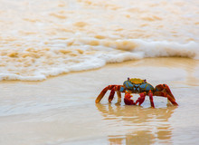 Crab On Sand Beach - Front View