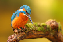 King Fisher Perched In A Branc...