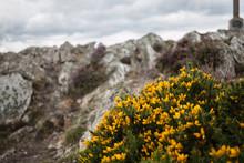 Yellow Furze Wild Flower Heath Mountain Cloudy Deserted