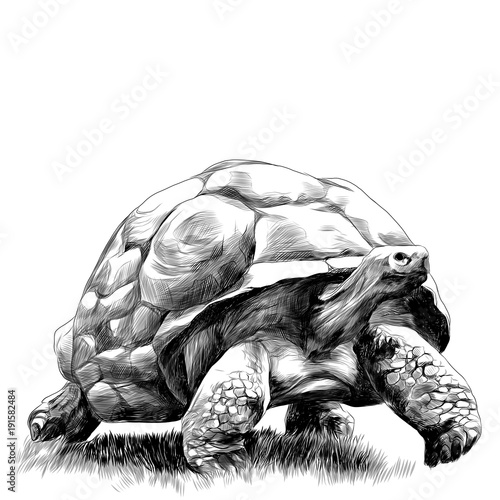 Foto  big land turtle walking on grass sketch vector graphic monochrome drawing