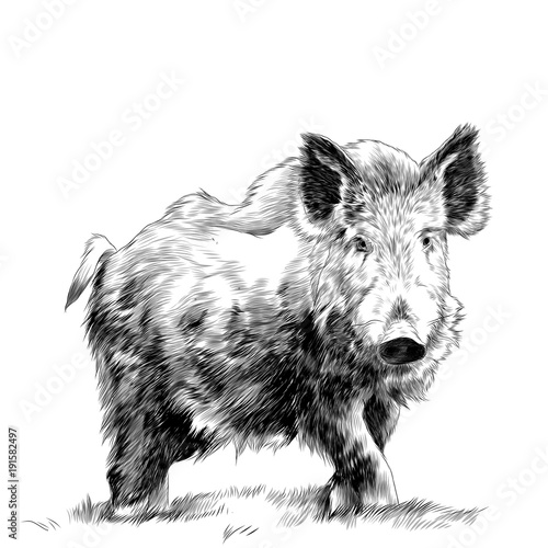 Fotografie, Obraz  wild boar standing in the grass sketch vector graphics monochrome drawing