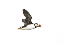 Atlantic Puffin In Flight, Whi...