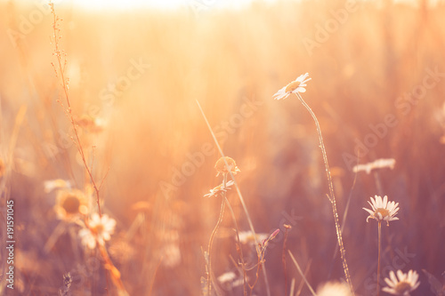 Deurstickers Poppy Vintage photo of meadow chamomile in field. Sunny summer