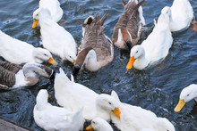 Many Ducks Floating In The Wat...