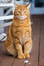 Ginger Kitteh On Porch