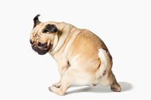 Male Pug Dog Isolated On White