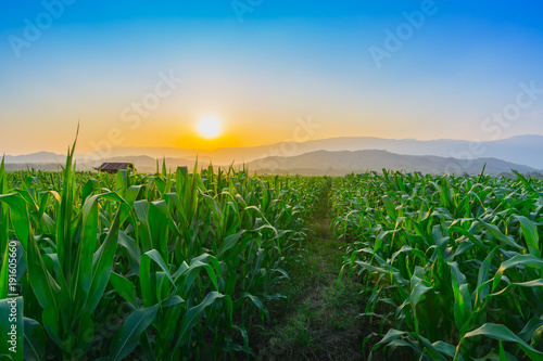 Staande foto Groene Landscape of young green corn field at Thailand agricultural garden and light shines sunset in the evening