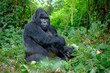 canvas print picture - Silverback mountain gorilla looking intently into camera.
