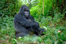 Silverback Mountain Gorilla Lo...