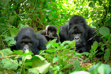 Family Of Mountain Gorillas Wi...