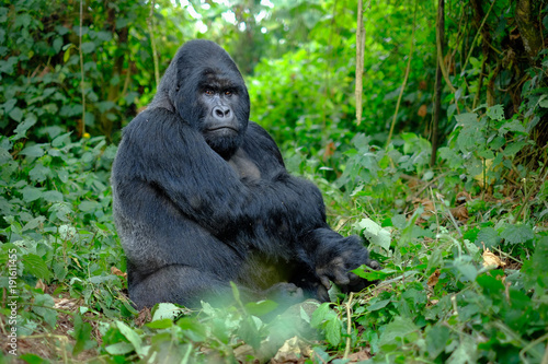 Silverback mountain gorilla looking intently into camera. Canvas Print