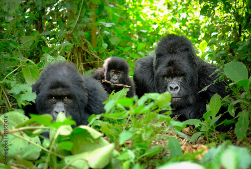Family of mountain gorillas with a baby gorilla and a silverback posing for picture in Rwanda Canvas Print