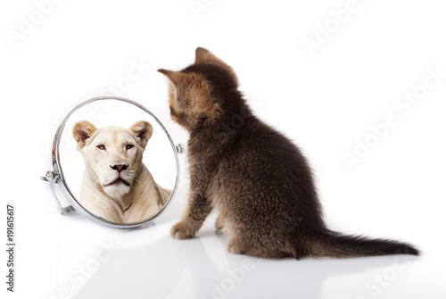 Poster Lion kitten with mirror on white background. kitten looks in a mirror reflection of a lion