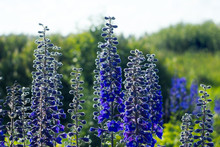 Larkspur - Blue Delphinium Flo...