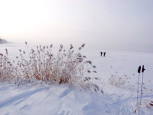 Snowy Distance, Reeds In The W...