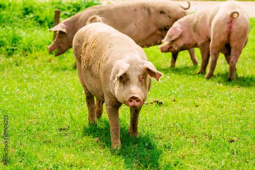 Fotografia, Obraz Pig portrait. Pig at pig farm