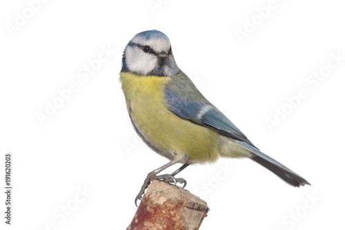 Naklejka premium bird tit on branch