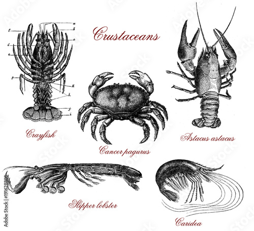 Photo  Vintage crustacean illustrated table with crayfish, lobster,crab and shrimps