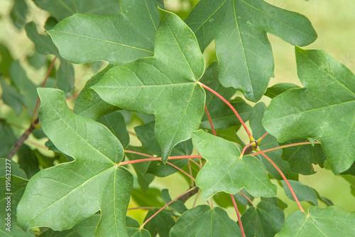Acer monspessulanum Blatt