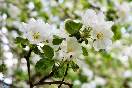 Obrazy kwiat jabłoni   biale-kwiaty-na-galezi-drzewa