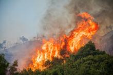 Fire In A Pine Forest In Kassa...