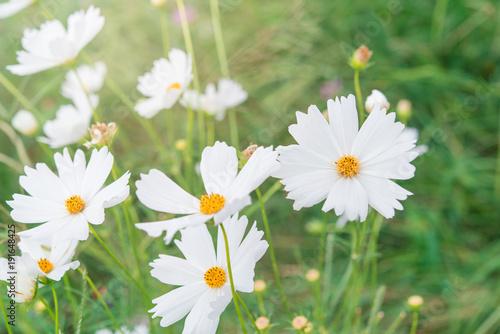 Pink And White Cosmos Flowers Garden Kaufen Sie Dieses Foto Und