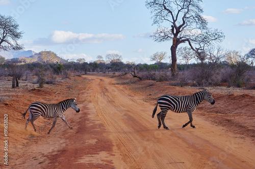 Fototapety, obrazy: Zebras überqueren die mit rotem Staub bedeckte Piste des Tsavo Ost in Keniax-default