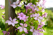 Flowering Pink Clematis In The...
