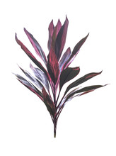 Cordyline Fruticosa Tree Isolated