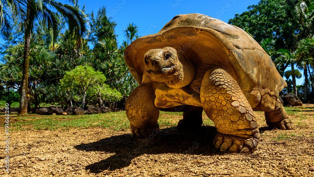 Fototapeta Giant tortoise endangered species walking slowly