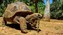 Giant Endangered Tortoise In A...