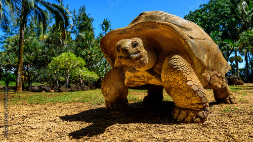 Photo sur Toile Tortue Giant tortoise endangered species walking slowly
