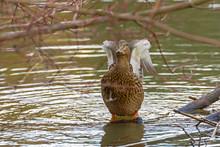 Wild Duck Standing In Water An...