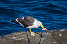 Seagull Eating A Starfidsh In ...