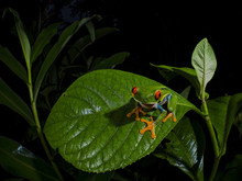 Red-Eyed Treefrog (Agalychnis ...