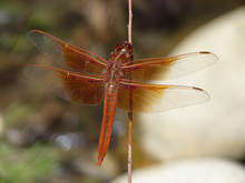 Flame Skimmer Dragonfly, Arroy...