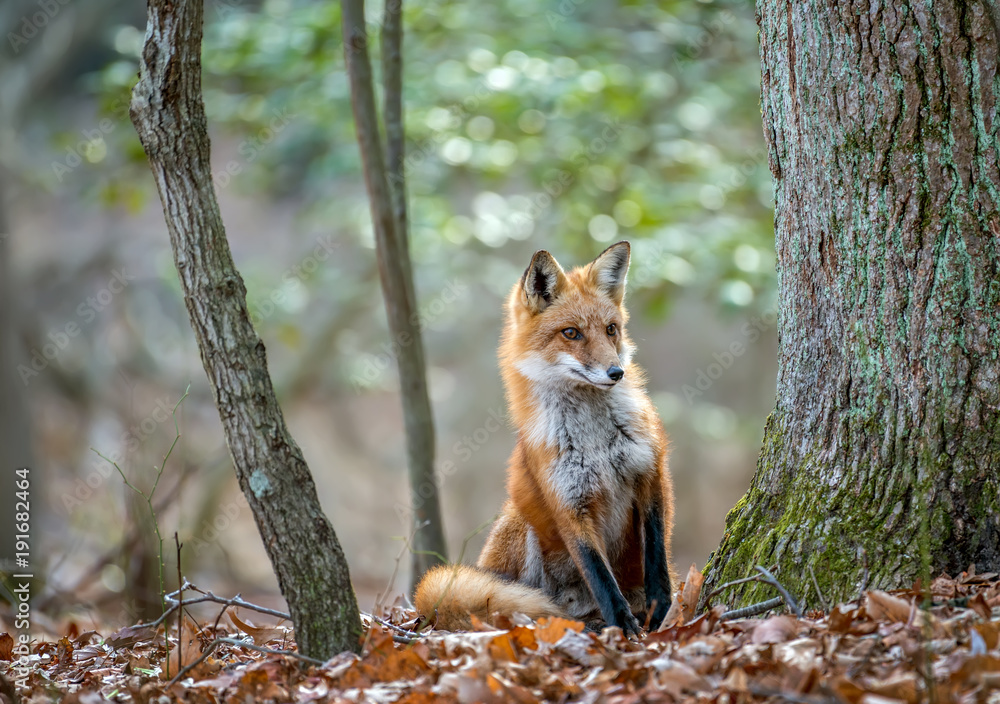 Fototapety, obrazy: Wild Red Fox looking around a tree in the forest in Autumn