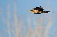 Sharp-Shinned Hawk Flying In A Blue Sky