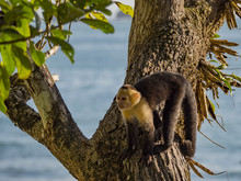 White-faced Capuchin Monkey (C...