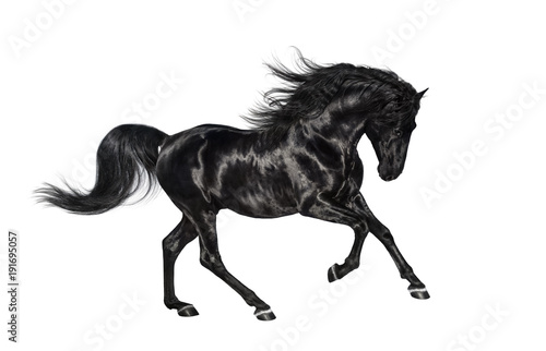 Galloping black Andalusian stallion isolated on white background. Canvas Print