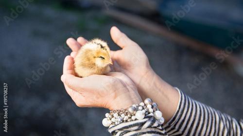 Carta da parati Close up of a Cute little chick held by female human hands in palms