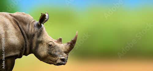 Spoed Foto op Canvas Afrika Highly alerted Rhino staring watchful into the distance. Ceratotherium simum