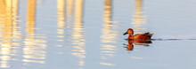 Cinnamon Teal (Anas Cyanoptera) Adult Male Wading In San Francisco Bay. Shoreline Park, Santa Clara County, California, USA.
