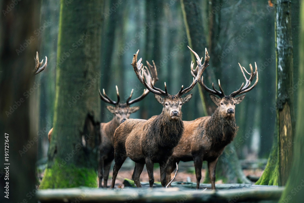 Three red deer stag standing together in forest.