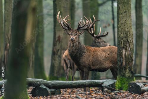 Poster Deer Red deer stag (cervus elaphus) between trees in winter forest.