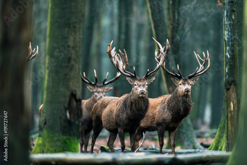 Photo sur Toile Cerf Three red deer stag standing together in forest.