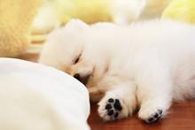 スヤスヤと眠る白いポ...