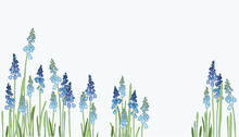 Muscari - Spring Flowers With A Blue Gradient. Little Hyacinthus